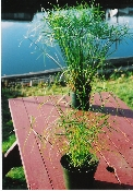Cyperus, easy grow water plant