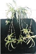 POPULAR SPIDER PLANTS. ULTIMATE HOUSE PLANT.
